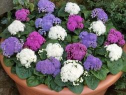 50+ IBERIS Candytuft RED and White Flower Seeds Mix/Deer Res