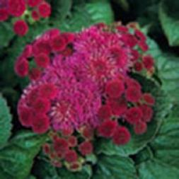 50+RED Royal Hawaiian Ageratum Flower Seeds