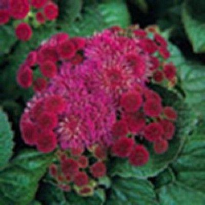 50 red royal hawaiian ageratum